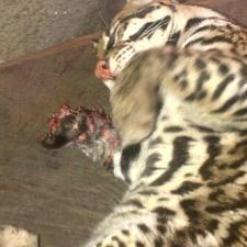 """Cunaguaro mutilado zoologico """"El Pinar"""""""